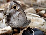 Le faune ne subsiste plus en Ile-de-France que dans les plaines sableuses du massif de Fontainebleau. Il est aussi en danger critique en régions Centre et Bourgogne.