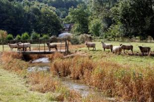 ecopâturage, moutons, Carole Debruyne-Delattre