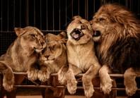 Cirques sans animaux sauvages : Paris s'engage mais sans échéance
