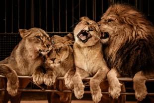 cirque-animal-lions