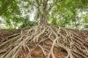 Root of banyan tree.
