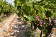 vigne-languedoc