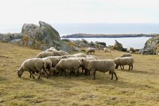 Des moutons sur l'Ile d'Yeu