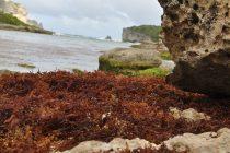 Sargasses en Guadeloupe