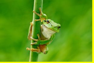 European tree frog, Hyla arborea, sitting on grass straw with cl