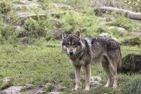 Loup-predateur