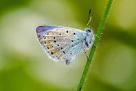 papillon-azure