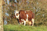 Vache-une