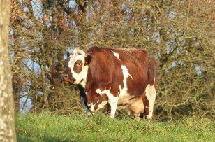 Odile et les vaches ne font pas bon ménage