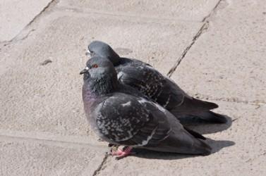 Beady-eyed, city pigeon pair