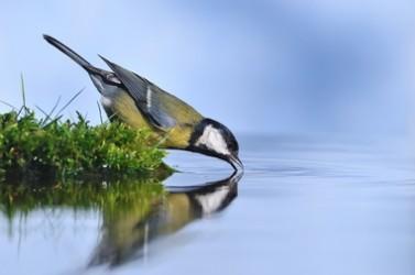 Carbonero común bebiendo agua.