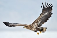 White-tailed Sea Eagle flying above the pack ice.