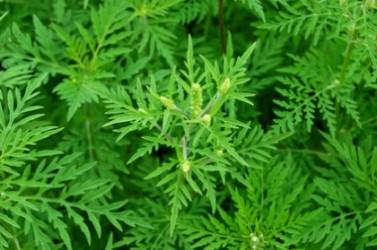 Ambrosiapflanze mit Blüten