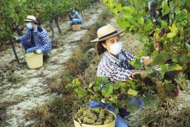 Focused woman in medical mask harvesting grapes