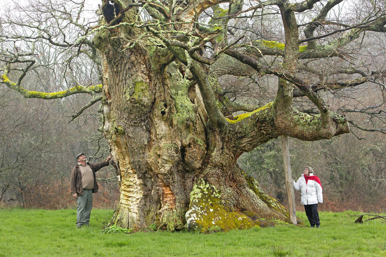 Le chêne de Saint-Civran (Indre) a reçu le prix du jury lors de la dernière édition de l'Arbre de l'année. D'une circonférence de 7 mètres, et mesurant entre 10 et 12 mètres, il aurait près de mille ans...