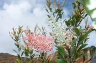 Grevillea exul extrait spécifiquement le manganèse dans une mine de Nouvelle-Calédonie,