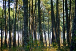 paysage-foret_pins