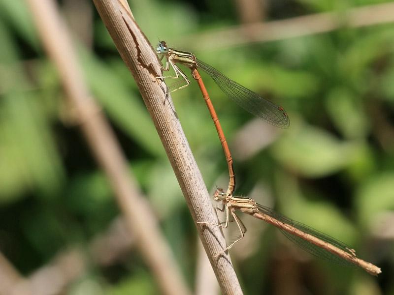 Papillon Platycnemis acutipennis