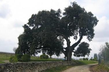 Vieux_chêne_vert_(Quercus_ilex)_à_Cherves-Richemont,_Charente,_France_-_20090419