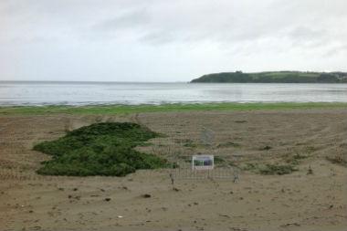 Exclusif : l'impossible éradication des marées vertes