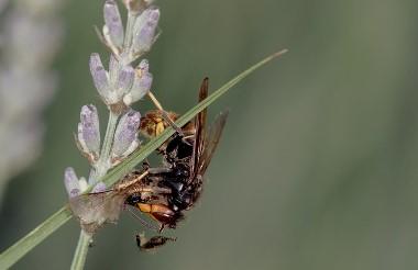 Frelon asiatique, moustique tigre, pollens: 3 points clés à surveiller