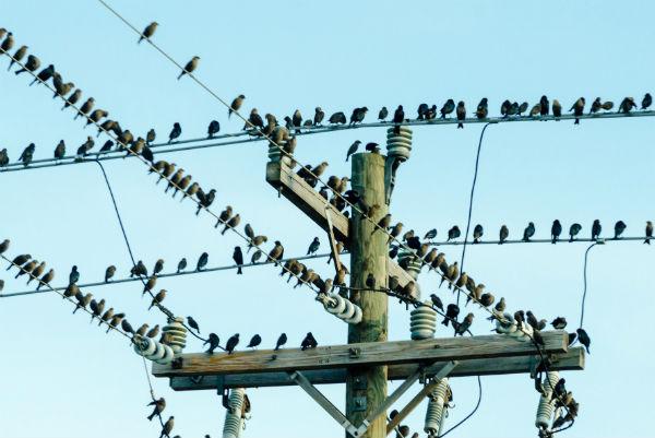 oiseaux-poteau-telephone