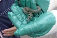 serpent d'herbe